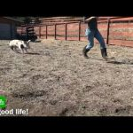 Поросенок на связи: американские фермеры придумали новый способ заработка в Zoom