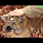 Тигры большие и маленькие — лучшие кадры