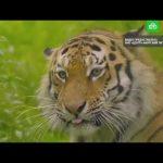 Ко Дню тигра на Дальнем Востоке